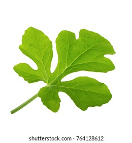 leaf of watermelon isolated