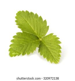 Leaf of wild strawberries