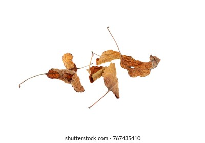 leaf withered isolated on white background
