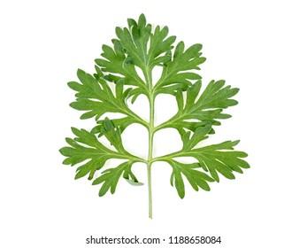 Leaf of wormwood isolated on white background