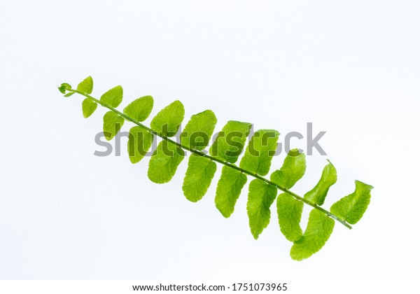 A leaf of a young fern. Homemade plants. Photo on a white background. Isolated from background. Green fern