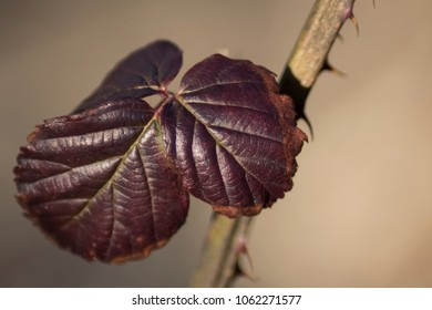 leaf of young wild blackberry close-up in early spring