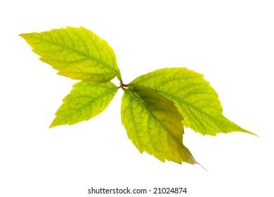 Leafage of wild grape on white background