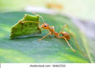 Leaf-cutter ant, Acromyrmex octospinosus, carrying leaf piece on tree log