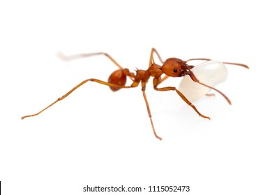 Leafcutter ant (Atta cephalotes) isolated on white