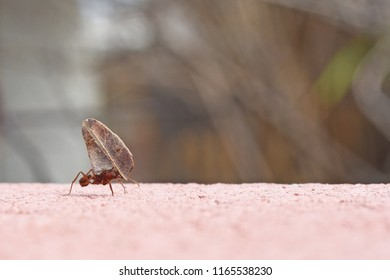 Leafcutter ant carrying a dry leaf