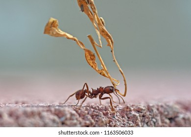 Leafcutter ant carrying dry leaves