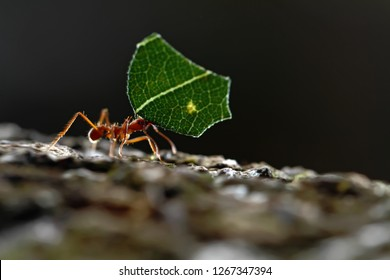 Leaf-cutter Ants - Atta cephalotes carrying green leaves in tropical rain forest, Costa Rica, black background