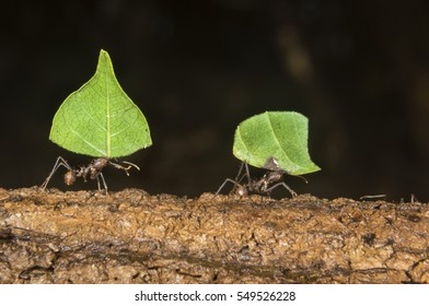 Leafcutter ants (Atta colombica) carrying pieces of leaves, Belize, Central America
