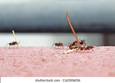 Leafcutter ants carrying dry leaves