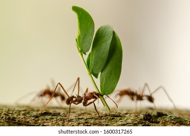 Leafcutter ants carrying leaf close up
