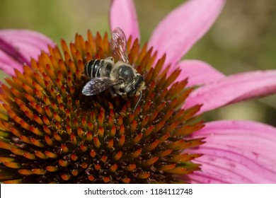 A Leafcutter bee is collecting nectar from a Purple Coneflower. Todmorden Mills Park, Toronto, Ontario, Canada.
