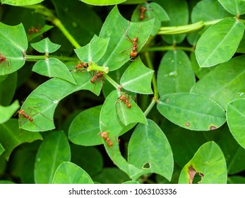 "Leaf-cutting ants [Atta cephalotes] in the highlands of Costa Rica cut pieces of a ""Perennial peanut"" Arachis pintoi], an inedible type of peanut."