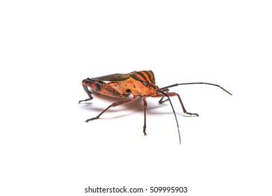The leaf-footed bug on the white background.