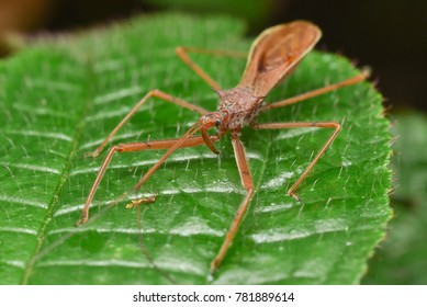 Leafhopper assassin bugs