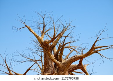 Leafless branches of baobab tree at dry season, on a background of clear blue sky.