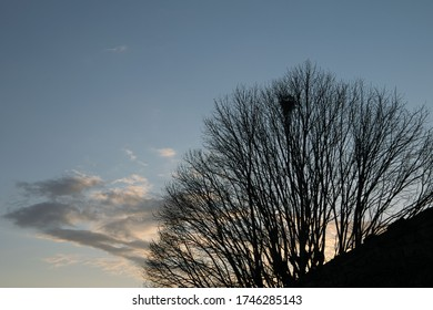 A leafless lime tree silhouetted against a blue sky. A magpie's nest is visible.