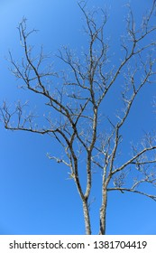 A leafless tall tree on the mountain under the blue clear sky during winter. Isolated yet beautiful.