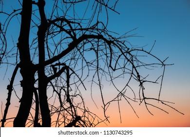 Leafless tree on sky background before sunrise