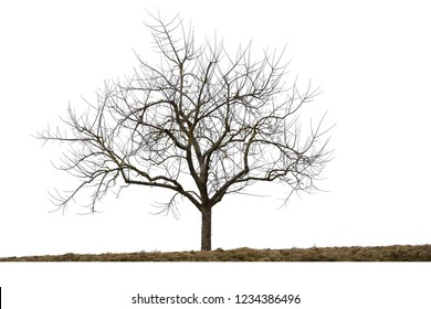Leafless tree in winter, isolated on white background