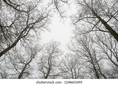 leafless treetops in winter