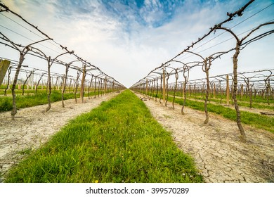 Leafless vineyards in rows that are directed toward the infinite horizon