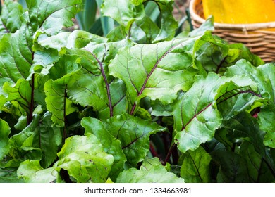 Leafs of beets.  Row of green  beet leaves in farmland. Close up of beet leaves growing  in the vegetable garden