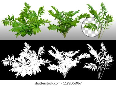 Leafs of braken fern plant isolated on a transparent background via an alpha channel of great precision. High quality mask without unwanted edge. Very high resolution for professional composition.