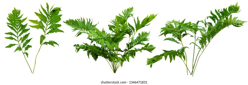Leafs of braken fern plant isolated on white background. Green shrub. Bush of leafy branches