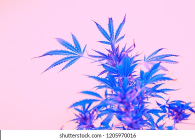 Leafs of cannabis, background image. Thematic photos of hemp and marijuana Trendy colors pink blue pop art image