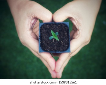 Leafs of cannabis (marijuana) seedling in hand like heart shape on a dark background.cannabis for live.