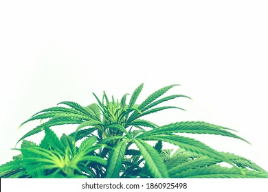 Leafs of Cannabis Plant Isolated on White Background with copy space