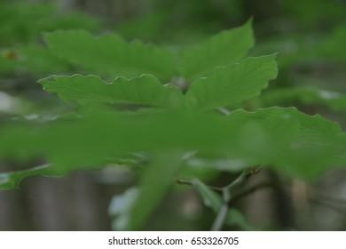 leafs details