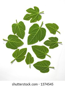 Leafs isolated in a white background