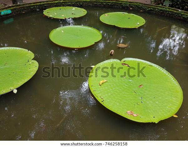 Leafs of lotus