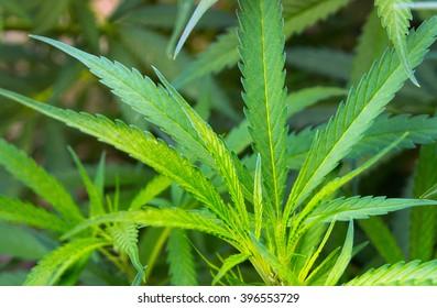 Leafs Marijuana Herbal background cannabis