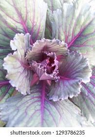 Leafs pattern of Wild Cockcom,Crested celosin,Cockcomb science name Celosia argentea var cristata L.Kuntze.Ornamental plant, close up.