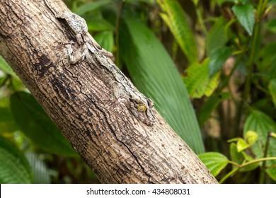 Leaf-tailed Gecko, mimicry, Uroplatus fimbriatus, Madagascar