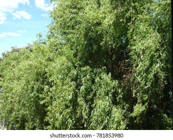 Picea Abies Pumila Nigra Stock Photo Edit Now 683782780 Shutterstock