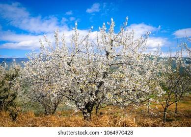 A leafy cherry tree