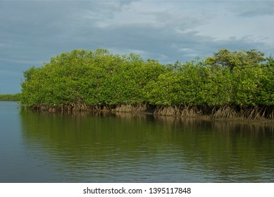 Leafy forest of mangroves in the natural reserve of Puerto Pizarro in Tumbes-PERU