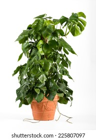 Leafy green delicious monster plant in a terracotta flowerpot growing up a central stake for indoor or patio decor as an ornamental foliage plant, over white
