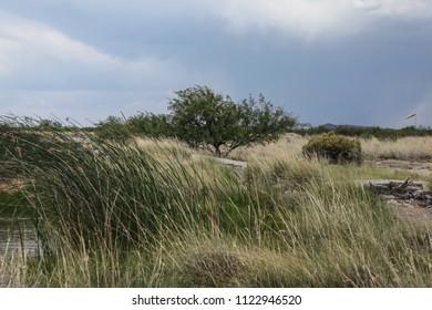 Leafy green desert tree on windy day