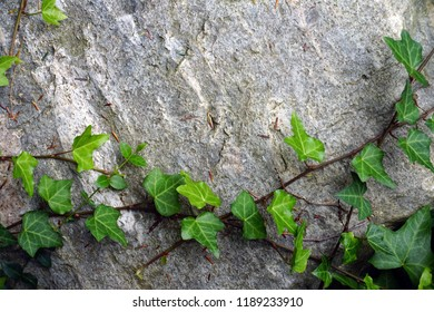 Leafy green vine growing on surface of rock