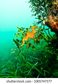 A leafy seadragon browses gracefully on sponges and seagrass, South Australia