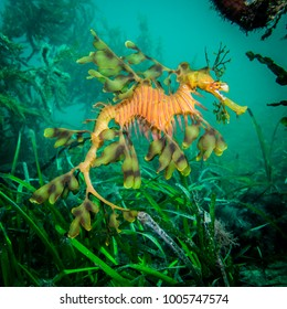 A leafy seadragon hovers gracefully over seagrass, South Australia