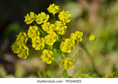 The leafy spurge (Euphorbia esula), also known as wolf's milk, is a long-lived perennial native to Europe and Asia. The beautiful flowering plant in a spring garden.