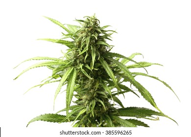 Leafy Top Marijuana Bud on Cannabis Plant Isolated by White Background