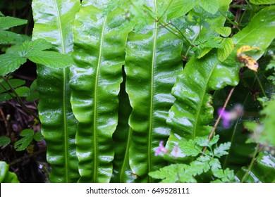 Leafy woodland plant