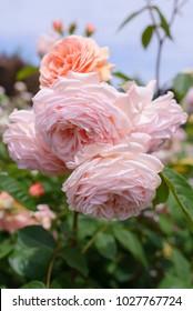 Leander Rose - shallow focus